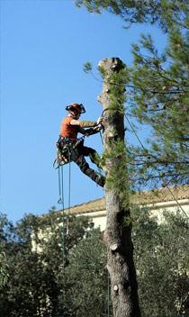 opération d'élagage d'un arbre